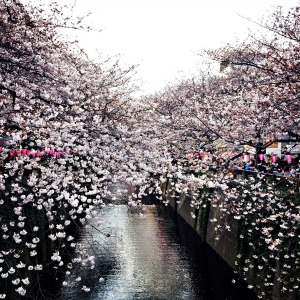Early sakura in Nakameguro; photo credit: Jessica Awanohara.