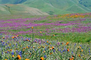 A profusion of wildflowers in Arvin. Photo credit: Cinda MacKinnon.