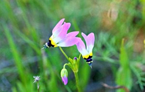 Dodecatheon clevelandii, aka shooting star. Photo credit: Cinda MacKinnonn.