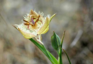 Calochortus tiburonensis. Photo credit: Cinda MacKinnon.