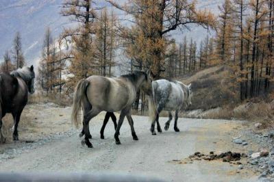 Svetlana_horses