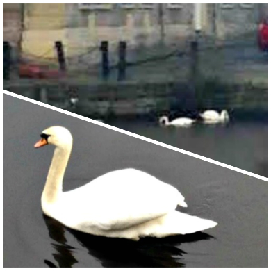 THE LONE SWAN: A metaphor for the peripatetic expat? Photos supplied.